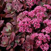Sunsparkler Firecracker Sedum (pack of 6)