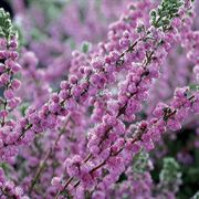 Red Star Heather