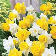 Welcoming Trumpets Daffodil Blend - Pack of 10
