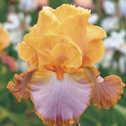 Grand Canyon Sunset Tall Bearded Iris