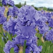 Tall Bearded Iris Sea Power