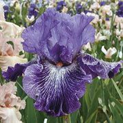 Splatter Art Tall Bearded Iris