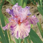 Squid Squirt Tall Bearded Iris