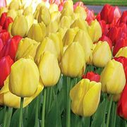 Darwin Oxford Yellow Tulip - Pack of 10