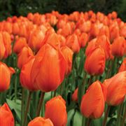 Lightning Sun Tulip - Pack of 10