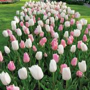 Marshmellow Fields Tulip Mix - Pack of 20