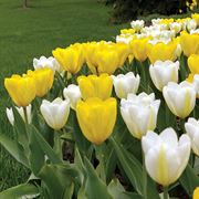 Sunglow Tulip Mix - Pack of 10