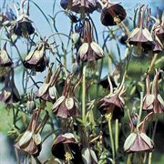 Chocolate Soldier Columbine