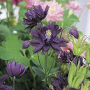 Clementine Dark Purple Columbine