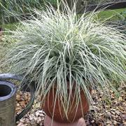 EverColor Everest Variegated Sedge