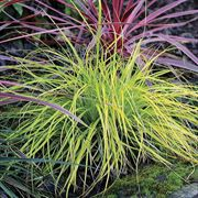 EverColor® Everillo Sedge