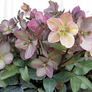 Shooting Star Lenten Rose