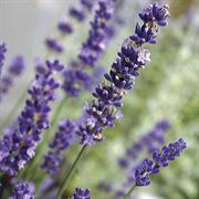 Big Time Blue Lavender