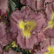 Magic Amethyst Daylily