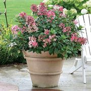 Little Quick Fire™ Hydrangea