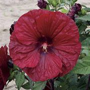 Red Red Wine Hibiscus