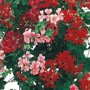 Summer Showers Hybrid Mix Geranium Seeds