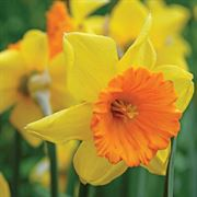 Love Day Daffodil