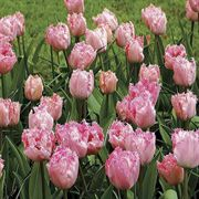 Santander Tulip - Pack of 10