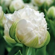 Ice Age Tulip - Pack of 10