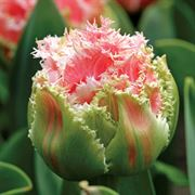 Queensland Tulip