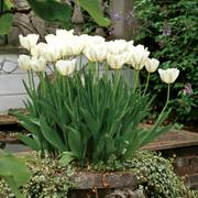 Inzell Tulip - Pack of 20