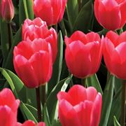 Tulip 'Rosy Delight' Alternate Image 1