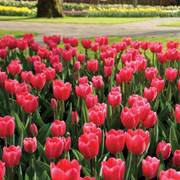Tulip Rosy Delight