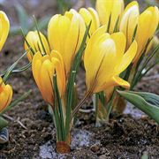 Golden Yellow Crocus