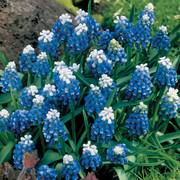 Mount Hood Grape Hyacinth - Pack of 20