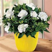 Autumn Shades Gardenia