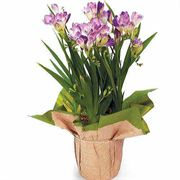 Purple Freesia Gift Plant