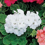Elite White Hybrid Geranium Seeds