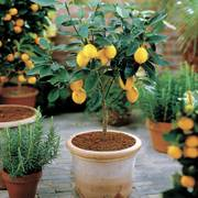 Citrus 'Meyer' Lemon Tree Thumb