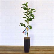 Citrus Kieffer Lime Tree Alternate Image 1