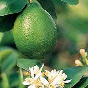 Citrus 'Bearss' Lime Tree Thumb