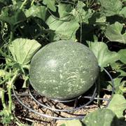 Melon Cradles