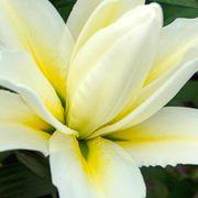 Lilium Roselily® Carolina® Alternate Image 1