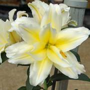 Lilium Roselily® Carolina® Alternate Image 2