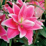 Roselily Natalia® Oriental Lily