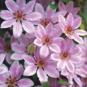 Nelly Moser Clematis Thumb