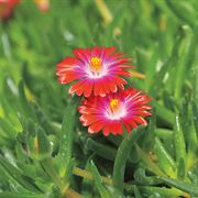 Jewel of Desert Garnet Iceplant