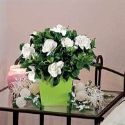 Heavenly Scented Evergreen Gardenia (4-inch)