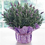Fragrant Lavender in Wrap
