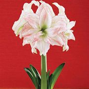 Single Red Amaryllis in Chalkboard Container