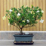 Gardenia Bonsai in Blue & Green Ceramic