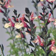 Suncrest Autumn Moon Sage