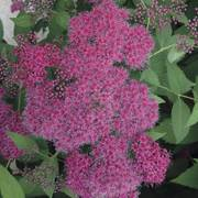 Double Play® Red Spirea image