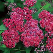 Double Play® Red Spirea Alternate Image 1