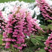 Gatsby Pink® Oakleaf Hydrangea image